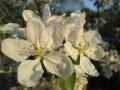 Malus domestica (3).JPG