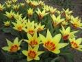 Tulipa 'Coronita' (4).JPG