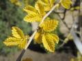 Ulmus pumila 'Aurea' (1).JPG